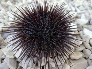 Beautiful-sea-urchin